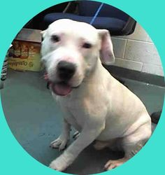 JORDAN (A1668381) I am a male white and tan Pit Bull Terrier mix. The shelter staff think I am about 1 year old. I was found as a stray and I may be available for adoption on 12/29/2014. — hier: Miami Dade County Animal Services. https://www.facebook.com/urgentdogsofmiami/photos/pb.191859757515102.-2207520000.1419464557./894051587295912/?type=3&theater
