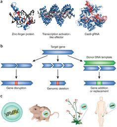Genome engineering: the next genomic revolution