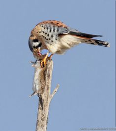 American kestrel enjoying a rodent dinner. (David | Hemings)