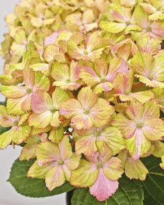 Forever & Ever® Fantasia Re-blooming hydrangea
