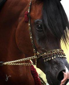 Such a gorgeous Arabian horse