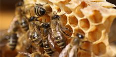 Inside Look At Bees Building Honeycomb