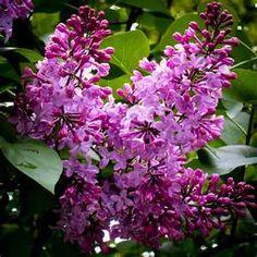 Lilac bush~ my absolute favorite flower