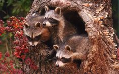 """I spotted these three musketeers peeking out from a hollow tree near the Whitefish River in Montana,"" says reader Brian Hayward of Calgary, Alberta Canada. country-magazine.com"