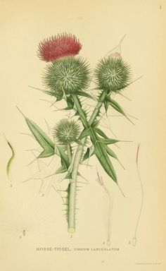 Thistle (Cirsium arvense, Asteraceae), from 'Billeder af nordens flora', by Mentz & Ostenfeld, 1917-1927. Source: Biodiversity Heritage Library, BHL. [public domain image]