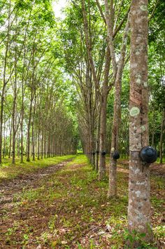 Rubber tree background, Thailand, Southeast Asia ...  Southeast Asia, agriculture, backgrounds, color image, forest, green, horizontal, industry, latex, leaf, lush foliage, nature, nature abstract, nature backgrounds, plantation, rubber, rubber tree, thailand, tree, tree trunk Rubber Tree, Tree Tree, Abstract Nature, Nature Nature, Dipper, Natural Rubber, Colour Images, Southeast Asia, Agriculture