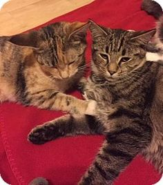 Blackwood, NJ - Domestic Shorthair. Meet Lucy (Foster Care), a cat for adoption. http://www.adoptapet.com/pet/12053972-blackwood-new-jersey-cat