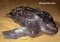 Dans la rubrique Reptiles, voici la tortue luth - Frawsy