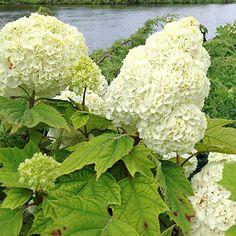 Gatsby Moon Oakleaf Hydrangea + 20 more hydrangea varieties to add to your garden: http://www.bhg.com/gardening/trees-shrubs-vines/shrubs/white-hydrangeas/?socsrc=bhgpin040115gatsbyhydrangea&page=8