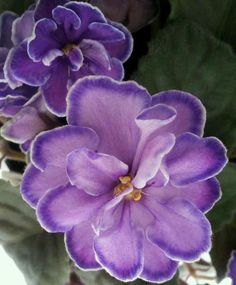 King's Treasure - one of my new African violets
