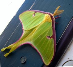 Lunar moth. I've only seen one in person once, but that was enough. Very pretty.