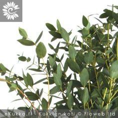 Hopeaeukalyptus, Eucalyptus gunnii Plants, Plant, Planets