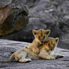 Wild Lion cubs and one adorable African Wild Dog Cute Baby Animals, Animals And Pets, Big Cats, Cute Cats, Lion Cub Tattoo, Baby Tigers, Tiger Cubs, Tiger Tiger, Bengal Tiger