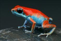 Strawberry Poison Dart Frog, Frog Tank, Frog Habitat, Frog Terrarium, Frog Species, Frog Drawing, Butterfly Drawing, Poison Dart Frogs, Cute Frogs