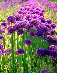 Love alliums - they look like something out of Dr. Seuss.