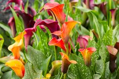 Attractive containers of pre-planted Calla Lilies are showing up in garden centers like never before. Description from mygardeninsider.com. I searched for this on bing.com/images