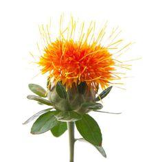 רפואת צמחים: קורטם הצבעים - Carthamus tinctorius-הצמח נוגד חמצו...