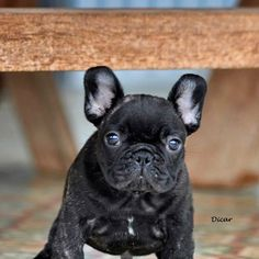 Dicar, French Bulldog Puppy
