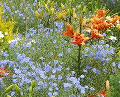 Lilium-Asiatic-Loretto-First-love-Linum-perenne.jpg (650×527)