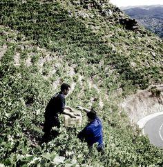 Uno de los tesoros de esta comarca son sus vinos, un complemento perfecto para una apreciada gastronomía, se comercializan bajo la denominación de origen Ribeira Sacra.