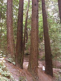 Redwoods in Felton, CA