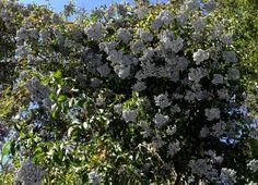 Blue Elderberry Wildcraft | Jack Elliott's Santa Barbara Adventure