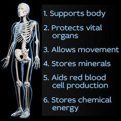 human skeletal system diagram. the skeletal system provides a, Skeleton