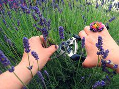 Lavender, Syrup