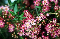 Chamelaucium_uncinatum also known as geraldton wax Australian Flowers, Australian Garden, Australian Desert, Wax Flowers, Beautiful Flowers, Wedding Flowers, African Plants, Desert Design, California Native Plants