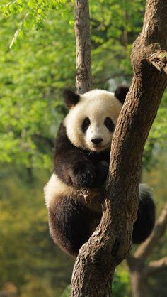 Panda-Gigante São orginalmente habitantes naturais das florestas de zona temperada na China, nas montanhas de Sichuan e na região de Ganshu.  Do ponto de vista físico, assemelham-se a grandes ursos de pelúcia acinzentados, com partes negras e brancas espalhadas pelo corpo. Mas essa bela cena de um grande e lindo animal descansando entre os galhos de uma árvore está correndo risco de não mais ser vista porque existem, na atualidade, em todo o mundo, apenas mil pandas gigantes.