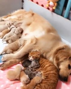 It's feeding time for puppies and kittens together. Please follow Animals Board for more videos