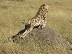 Cheeta in Massai Mara
