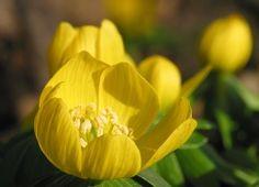 Winter aconite flower