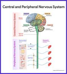 Science biology human Nervous System Function - Health, Medicine and Anatomy central peripheral Nervous System Diagram, Nervous System Anatomy, Human Nervous System, Nervous System Function, Peripheral Nervous System, Central Nervous System, Neurological System, Nerves Function, Medical Anatomy