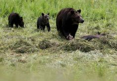 Spike in Yellowstone grizzly deaths tied to conflicts with humans #U_S_A_ #iNewsPhoto
