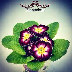 Primula florembrie