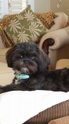 shih tzu, shitzu puppy shih tzu, shih tzu quotes so true, shih tzus, shi. Shitzu Puppies, Cute Puppies, Dogs And Puppies, Cute Dogs, Doggies, Puppys, Chien Shih Tzu, Shih Tzu Puppy, Shih Tzus
