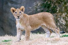 african lion cub 1   Flickr - Photo Sharing!