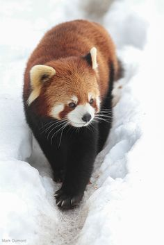 Red panda strolls through the snow. Photo by Mark Dumont.