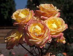 Young Quinn Hybrid Tea Rose