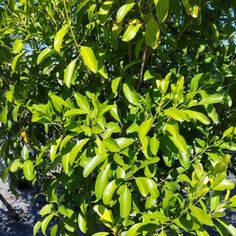 Fraser Island Apple is one of our Native Plants available at our nurseries on the Gold Coast or Brisbane. Apple Plant, Fraser Island, Plant Species, Native Plants, Garden Plants, Herbs, Gardens, Herb, Tuin