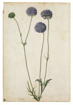 A Red Clover and a Field Scabious  Object: Watercolour  Place of origin: France (painted)  Date: ca.1575 (painted)  Artist/Maker: Le Moyne de Morgues, Jacques, born 1533 - died 1588 (artist)  Materials and Techniques: Watercolour and bodycolour  Museum number: AM.3267HH-1856