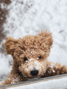 924 Best Doodle Dogs & More! images in 2019 | Poodles, Dogs