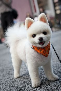 This is how my little man looks today after an afternoon at the groomers. He smells SO good. I <3 my pom!