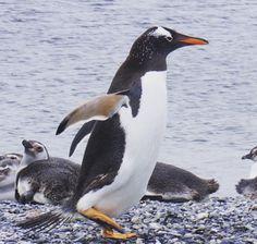 Penguins - Ushuaia