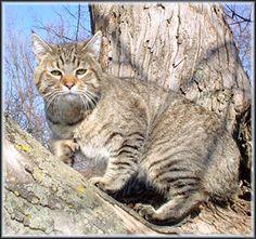 Ralphie, our pixie bob cat