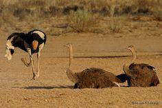 Rieldans (Ostrich mating display) by Willievs Ostrich Bird, The Ostrich, Camelus, Ostriches, Flightless Bird, God Loves You, View Image, Gods Love, Cool Photos