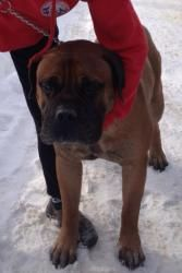 Ma-Brutus is an adoptable Bullmastiff Dog in Lewis Center, OH. MASSACHUSETTS Meet Brutus, six year old male, housebroken, quiet, only goal in life to be a beloved family pet.  Should do fine with a la...