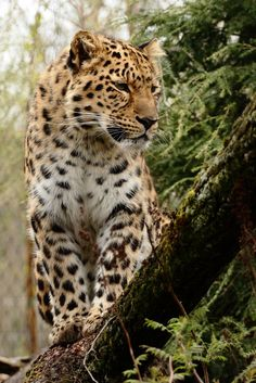 Amur Leopard | by Andre Promnitz on 500px