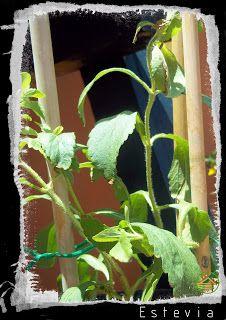 PLANTAS MEDICINALES: REPRODUCCIÓN Y USO DE LA STEVIA REBAUDIANA ~ Mi azotea verde Stevia, Remedies, Plants, Green Houses, Gardens, Medicinal Plants, Vegetable Garden, Home Remedies, Plant